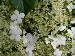 climbing hydrangea ticks all the boxes sow and so