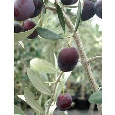 grignan potted olive tree standard groworganic