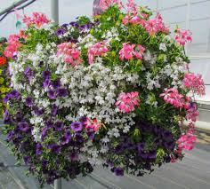 hanging basket plants for sun famous hanging basket for sun variety of color combinations free