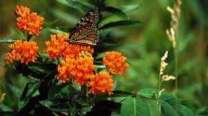 butterfly weed 2017 perennial plant of the year grow beautifully