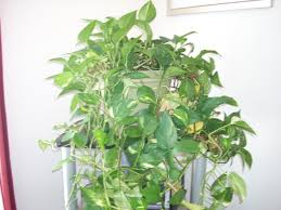 simple house plants vines indoor vine google search o in design