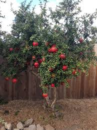 Our Small Pomegranate Tree Is Loaded With Big Fruit This Year