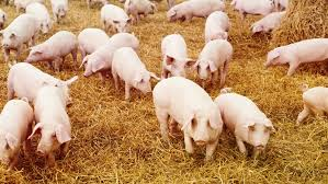 How To Build A Pig Barn How To Start Pig Farming In Nigeria Modern Pig Farming Method