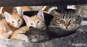 Cats In Small Spaces Video - watch this grumpy feral cat fall in love with some kittens video