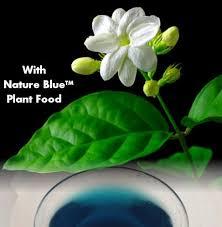 Fragrant Jasmine Plant - arabian jasmine plant maid of orleans fragrant