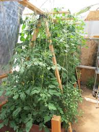 tomato trellis and garden update thiscrazygarden