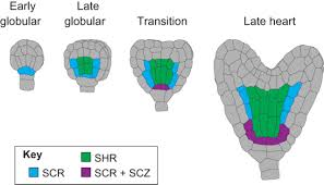 building a plant cell fate specification in the early arabidopsis