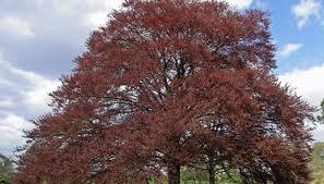 newport flowering plum tree garden guides