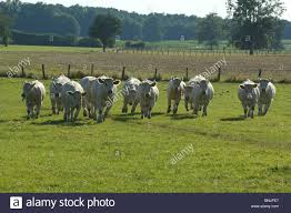 french breed of cow stock photos u0026 french breed of cow stock