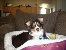 h cross australian shepherds aussie corgi dog breed information
