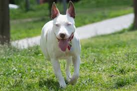 american pitbull terrier uk law rspca calls for urgent changes to u0027flawed u0027 dangerous dogs act