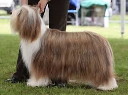 bearded collie brown untitled document