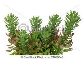 stock photo of ornamental plant name vingerpol isolated on white