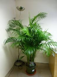 growing areca palm as indoor plant bomets