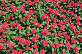 Vinca Flower Information - 130 vinca titan dark red live plant plugs home garden planters