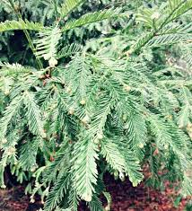 foraging for pine needles and other conifer needles