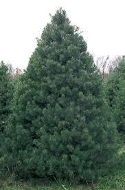 scotch pine christmas tree scotch pine bengtson s u cut christmas trees