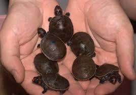 Ringed Map Turtle Photo Host Of Tiny Turtles Born At Aquarium Zoo Babies