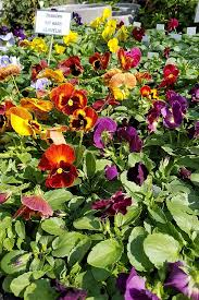 Our Favorite Plants How To by How To Grow Pansies And Violas For Multi Season Color Gardener U0027s Path