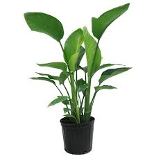 birds of paradise flowers costa farms white bird of paradise in 9 1 4 in pot 10white the