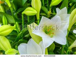 White Lily Flower Lily Stock Images Royalty Free Images U0026 Vectors Shutterstock