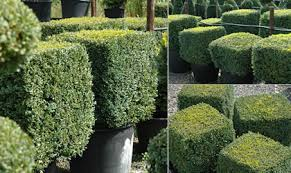 English Box Topiary - instant hedging u0026 topiary cubes u2014 crown topiary