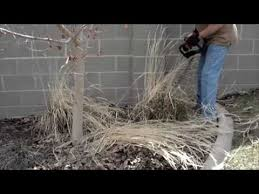 how to trim back ornamental grass