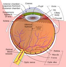 What Causes A Blind Spot In Your Eye Fovea Centralis Wikipedia