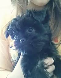 affenpinscher pics 22 best all things affenpinscher images on pinterest animals