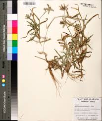 native plants of alabama dactyloctenium aegyptium species page apa alabama plant atlas