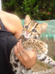 domestic wild cats home our asian leopard cat