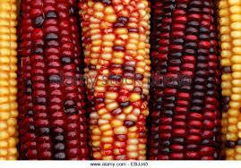 ornamental indian corn zea mays stock photos ornamental indian
