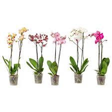 phalaenopsis potted plant orchid 2 stems 12 cm ikea