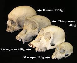 biological anthropology wikipedia