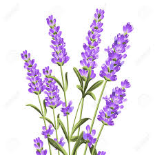 lavender flowers bunch of lavender flowers on a white background botanical