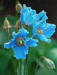 Flower Love Pics - blauwe druif spring time blue flowers and heavens