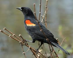 red winged blackbird wikipedia