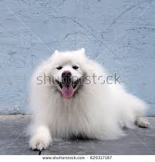 american eskimo dog vector eskimo stock images royalty free images u0026 vectors shutterstock
