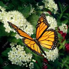 monarch butterfly stock photos royalty free monarch butterfly