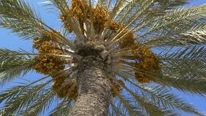Palm Trees Fruit - 4k palm trees against blue sky dates fruit tree at summer time