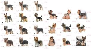yorkie hair styles types of haircuts for yorkies once the yorkie