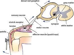 Knee Reflex Arc Organization Of The Human Nervous System The Nervous System