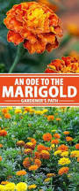 how to grow marigolds marigold plants and gardens