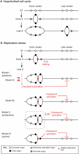 Origin Resume Download Controlling Dna Replication Origins In Response To Dna Damage