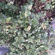 thym serpolet cuisine thym serpolet plant ferme de sainte marthe