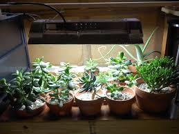 what kind of grow light do i need for succulents sublime succulents