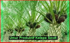 Minyak Kelapa Sawit Terkini umur produktif kelapa sawit di ladang malaysia kelapasawitnews