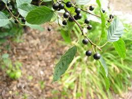 native illinois plants native suburbia invasive plants