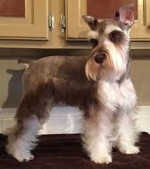 schnauzers hair cuts 975 best schnauzer love images on pinterest schnauzers dogs and