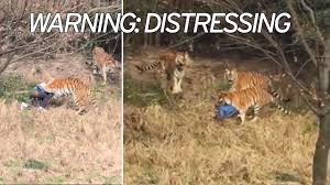 tourist mauled to death by tigers in front of wife and child u0027had